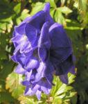 Eisenhut Bluete blau Aconitum x arendsii 01