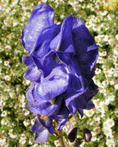 Eisenhut Bluete blau Aconitum x arendsii 02
