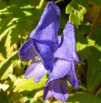 Eisenhut Bluete blau Aconitum x arendsii 04