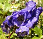 Eisenhut Bluete blau Aconitum x arendsii 06