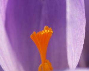 Elfen Krokus Bluete lila Crocus tommasinianus 01