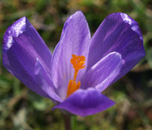 Elfen Krokus Bluete lila Crocus tommasinianus 02
