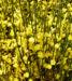 Zurück zum kompletten Bilderset Elfenbein Ginster Blüte cremegelb Cytisus praecox