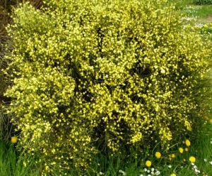 Elfenbein Ginster Bluete cremegelb Cytisus praecox 09