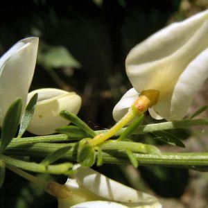 Elfenbein Ginster Bluete Cytisus praecox 04