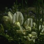 Elfenbein Ginster Bluete Cytisus praecox 05