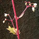 Elfenblume Bluete rose Epimedium 13