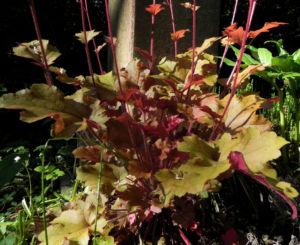 Elfenblume Bluete rose Epimedium 15