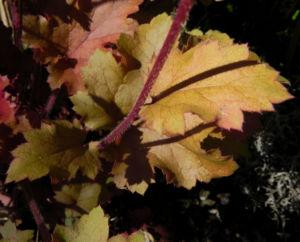 Elfenblume Bluete rose Epimedium 16