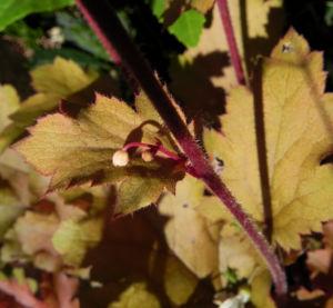 Elfenblume Bluete rose Epimedium 17