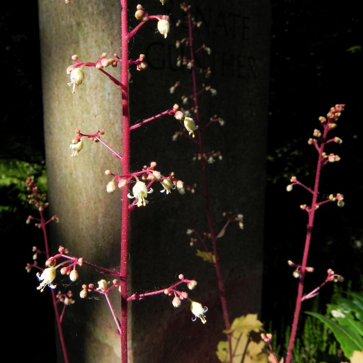 Elfenblume Bluete rose Epimedium