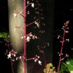 Elfenblume Bluete rose Epimedium 18