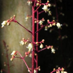 Elfenblume Bluete rose Epimedium 19