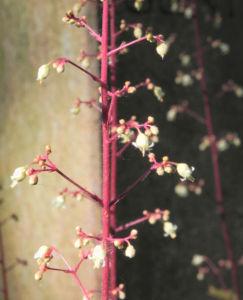 Elfenblume Bluete rose Epimedium 22