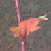 Zurück zum kompletten Bilderset Elfenblume Blüte rose Epimedium