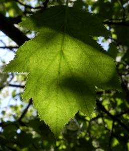 Elsbeere Baum Blatt gruen Sorbus torminalis 01