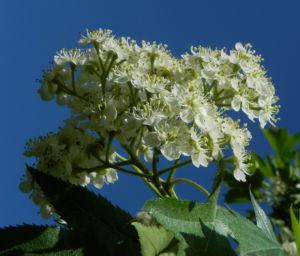 Elsbeere Baum Bluete weiss Sorbus torminalis 07