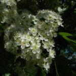 Elsbeere Baum Bluete weiss Sorbus torminalis 08