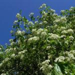 Elsbeere Baum Bluete weiss Sorbus torminalis 09