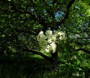 Elsbeere Baum Bluete weiss Sorbus torminalis 10