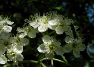 Elsbeere Baum Bluete weiss Sorbus torminalis 12