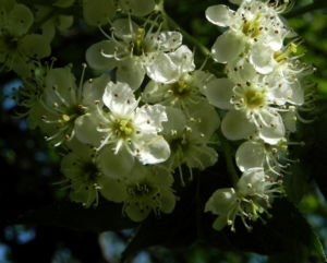 Elsbeere Baum Bluete weiss Sorbus torminalis 13