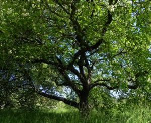 Elsbeere Baum Bluete weiss Sorbus torminalis 14