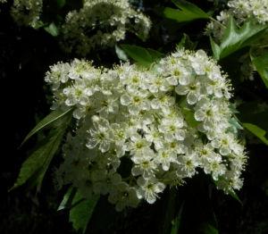 Elsbeere Baum Bluete weiss Sorbus torminalis 15