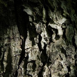 Elsbeere Baum Rinde grau Sorbus torminalis 02