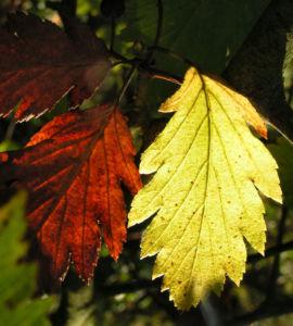 Elsbeere Blatt gruen Beere rot Sorbus torminalis 01