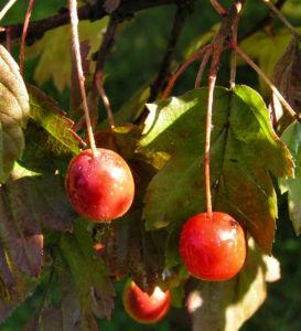 Elsbeere Blatt gruen Beere rot Sorbus torminalis 02