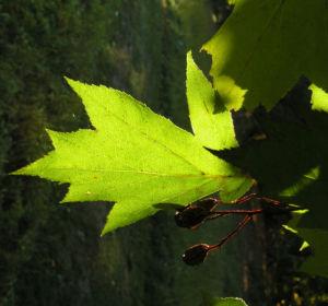 Image: Elsbeere Blatt gruen Beere rot Sorbus torminalis