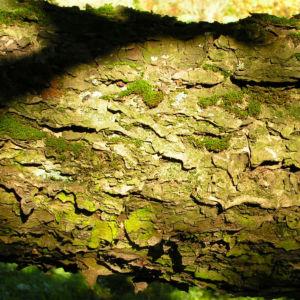 Elsbeere Blatt gruen Beere rot Sorbus torminalis 04