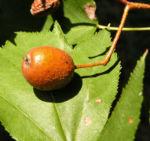 Elsbeere Blatt gruen Beere rot Sorbus torminalis 05