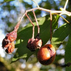 Elsbeere Blatt gruen Beere rot Sorbus torminalis 06