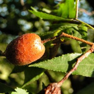 Elsbeere Blatt gruen Beere rot Sorbus torminalis 08