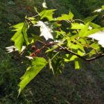 Elsbeere Blatt gruen Beere rot Sorbus torminalis 09