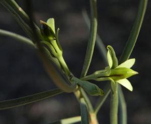 Emubusch Strauch Bluete hellgelb Eremophila oppositifolia 04