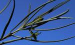 Emubusch Strauch Bluete hellgelb Eremophila oppositifolia 08