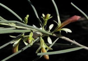 Emubusch Strauch Bluete hellgelb Eremophila oppositifolia 12