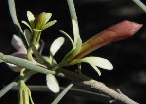 Emubusch Strauch Bluete hellgelb Eremophila oppositifolia 13