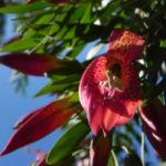 Emubusch Strauch Bluete rot Eremophila maculata 09