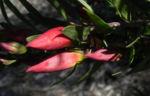 Emubusch Strauch Bluete rot Eremophila maculata 10