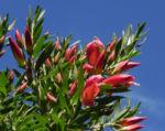 Bild: Gefleckter Emubusch Strauch Blüte rot Eremophila maculata