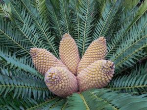 Encephalartos Frucht braun Encephalartos altensteinii 07
