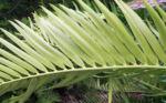 Encephalartos Frucht braun Encephalartos altensteinii 08