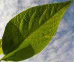 Engelstrompete Blatt gruen Brugmansia hybride 01