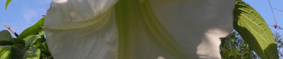 engelstrompete-bluete-weiss-brugmansia-hybride