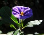 Enzianstrauch Bluete lila Lycianthes rantonnetii 08