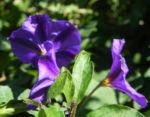 Enzianstrauch Bluete lila Lycianthes rantonnetii 12